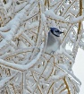 Blue Jay in Willo...
