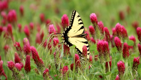 Red Clover And Swallowtail