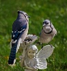 Two Jays on Pixie