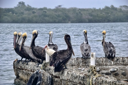 PELICANS  IN  CONFERENCE