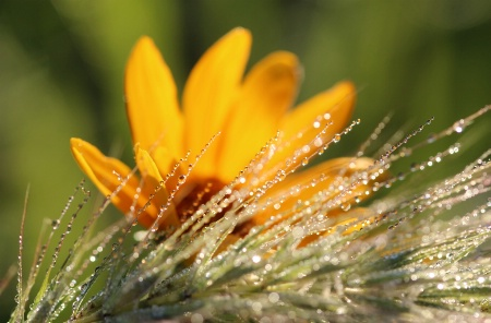 Dewdrops And Wildflower