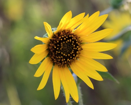 The Beauty Of A Simple Sunflower