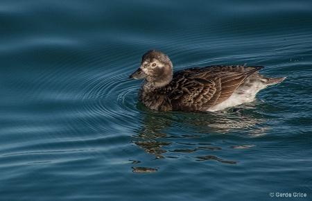 Female Long Tail Duck