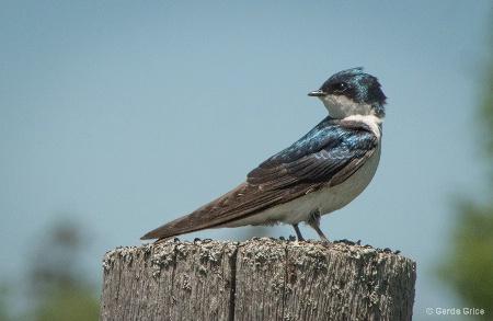 Tree Swallow Glancing Back