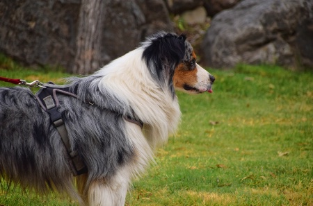 A COLLIE AT THE PARK