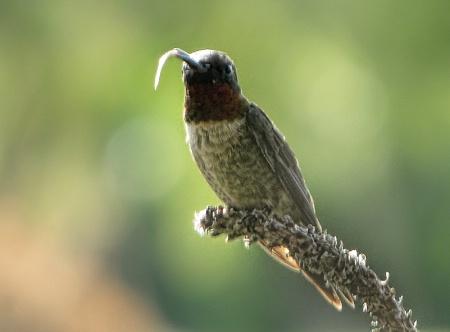 Ever See A Hummingbird Tongue?