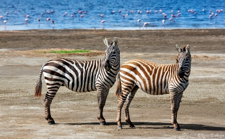 Zebra Pair #1