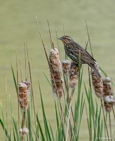 Female Redwing Blackbird on Rushes
