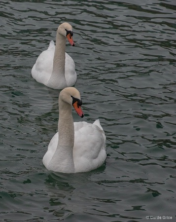 Mute Swans at Harbourfront