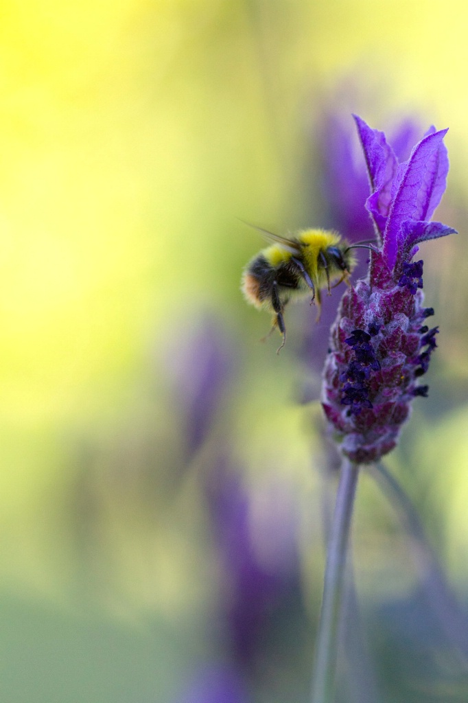 Bee in Afternoon Light