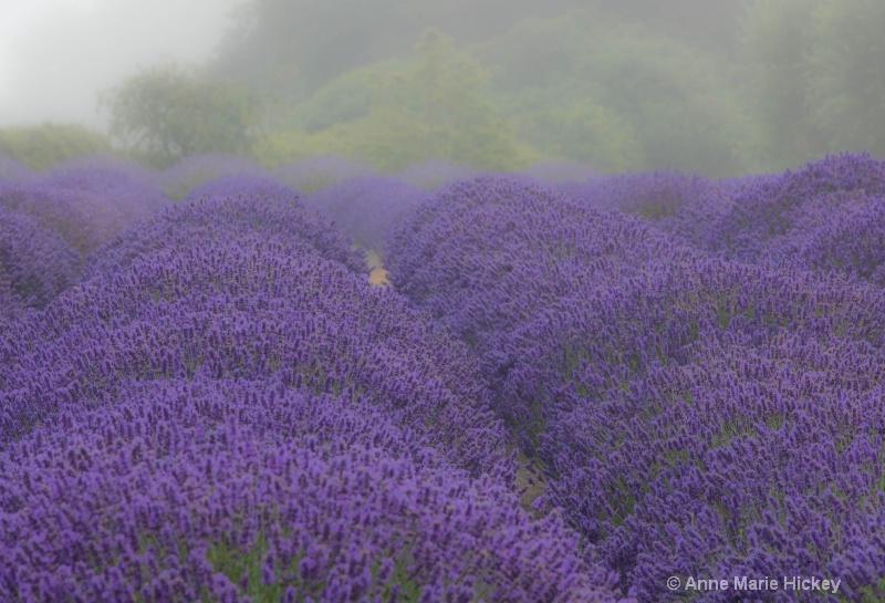 The Lavender Field in Fog
