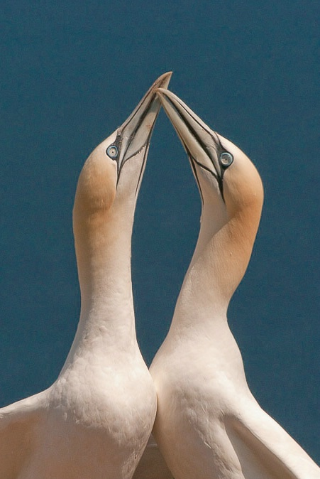 8.pair of gannets