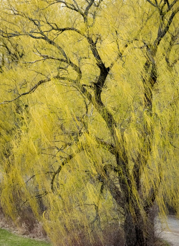 9.weeping willow