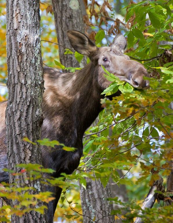moose quabbin