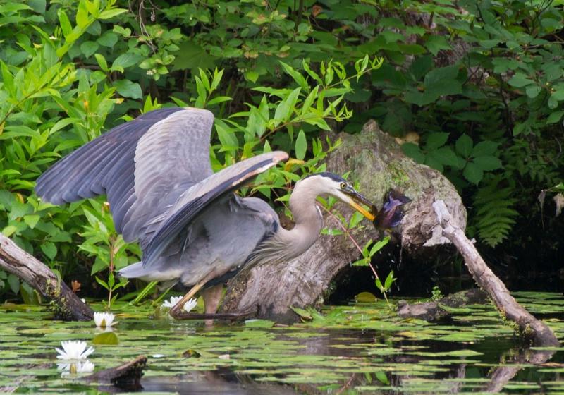 gb heron catching fish