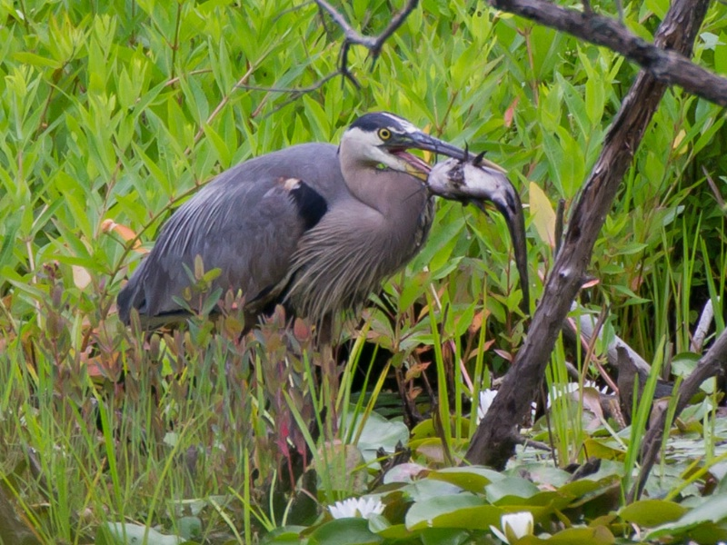 gb heron with fish 3