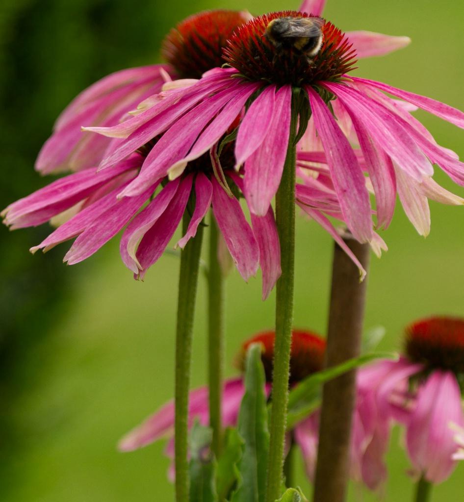 Bee Feeding on Echinachea Flower