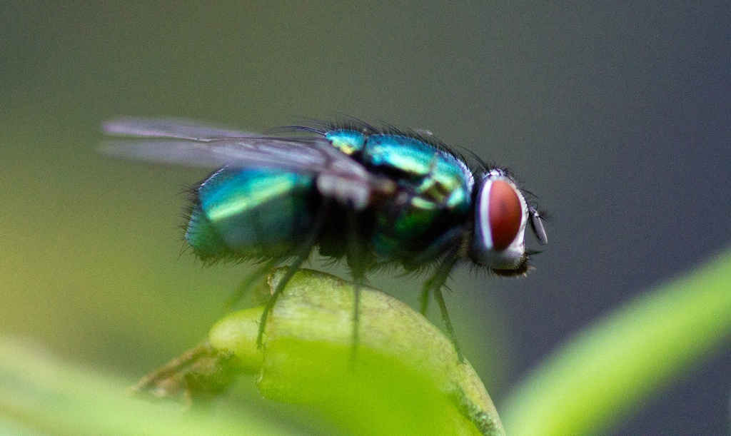Fly on Hot Chilli Plant