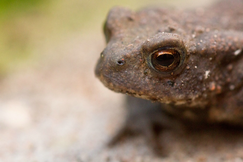 Toad in Close-up