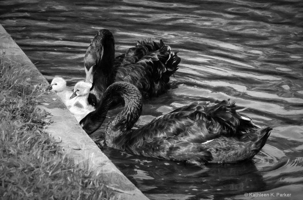 Portrait of a Swan Family