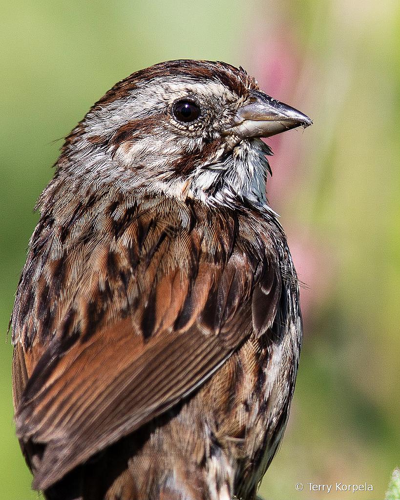 Song Sparrow (Portrait)