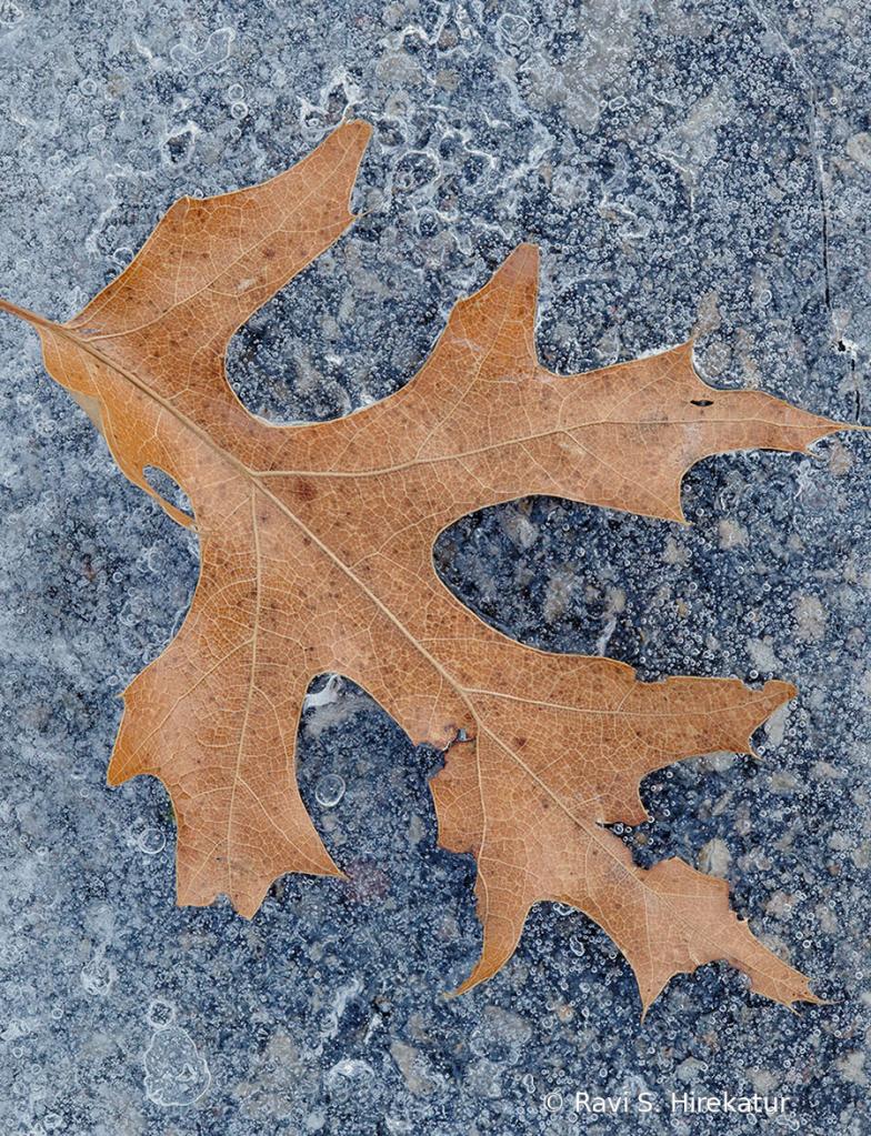 Oak Leaf in ice