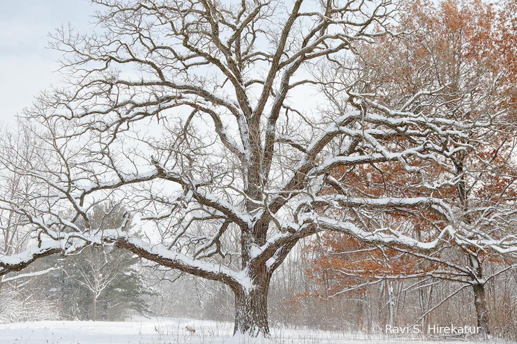 Oak Tree on a snowy day