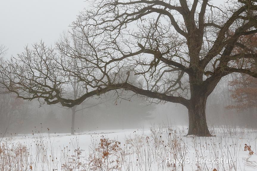 Oak Tree on a foggy day in winter