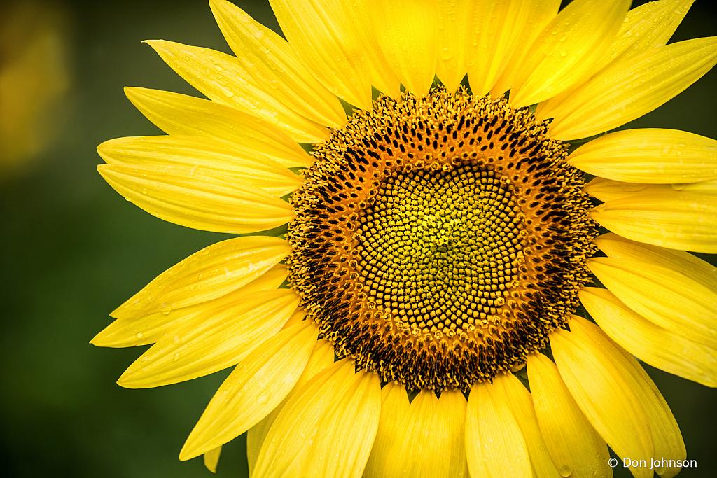 Sunflower Macro 7-7-19 395