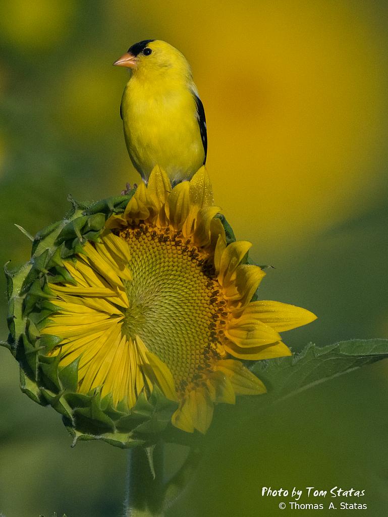SunflowersJuly20191of10