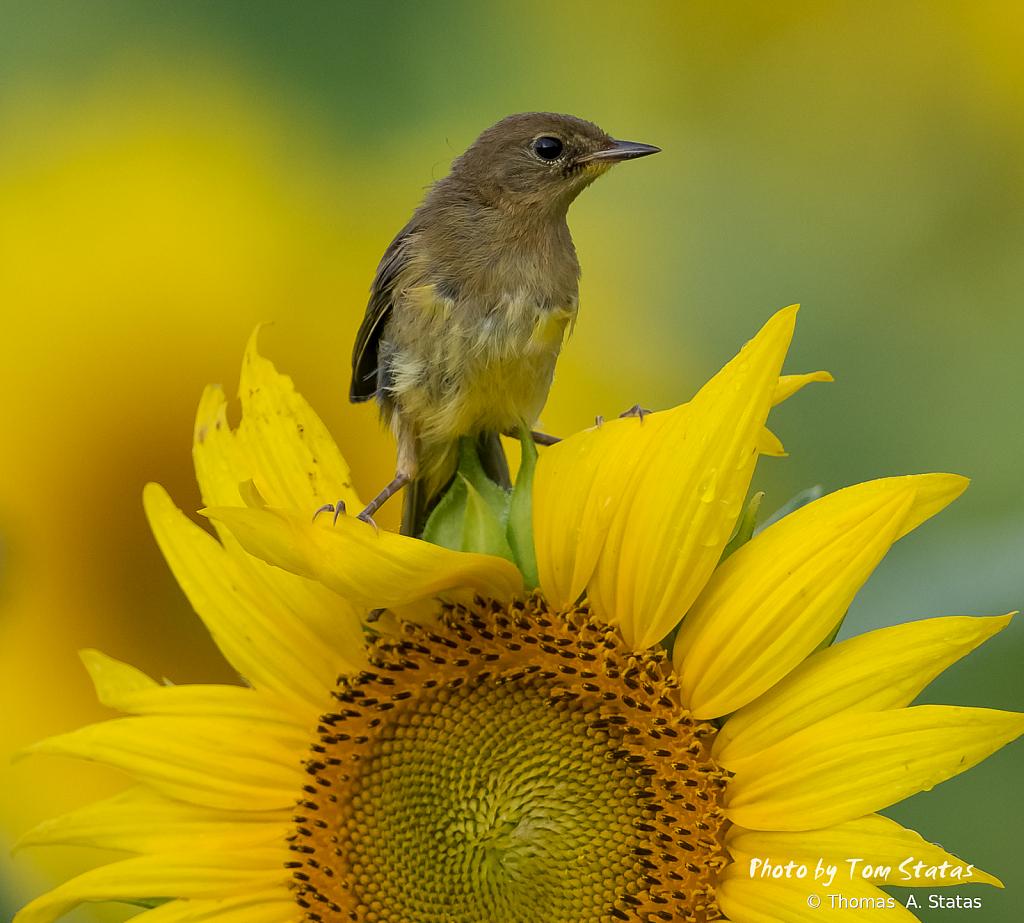 SunflowersJuly20199of10