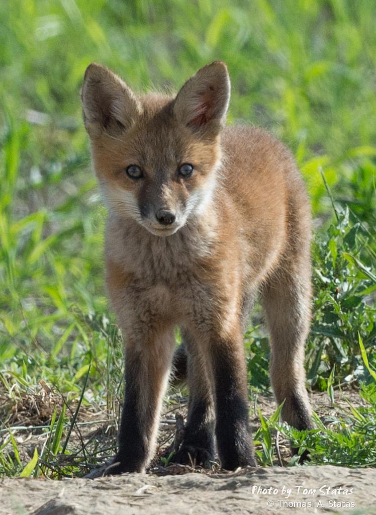 FoxKits1of5
