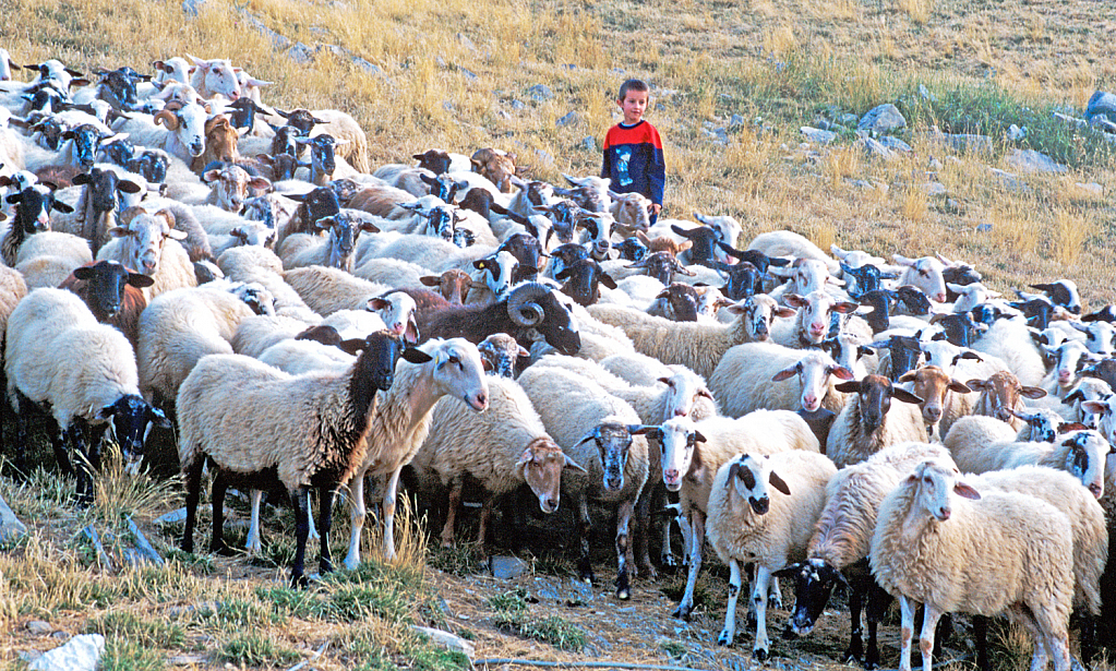 A flock of sheep and the young shepherd.