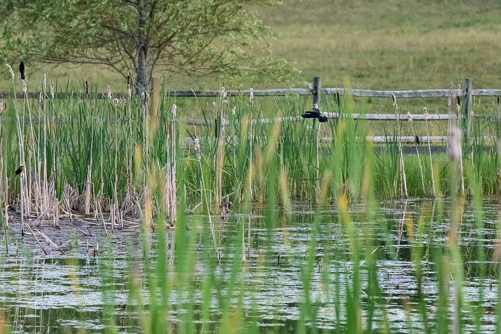 Red-wing Blackbird Habitat!