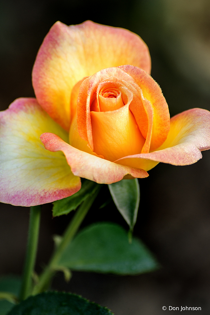 Another Rose 8-11-19 220