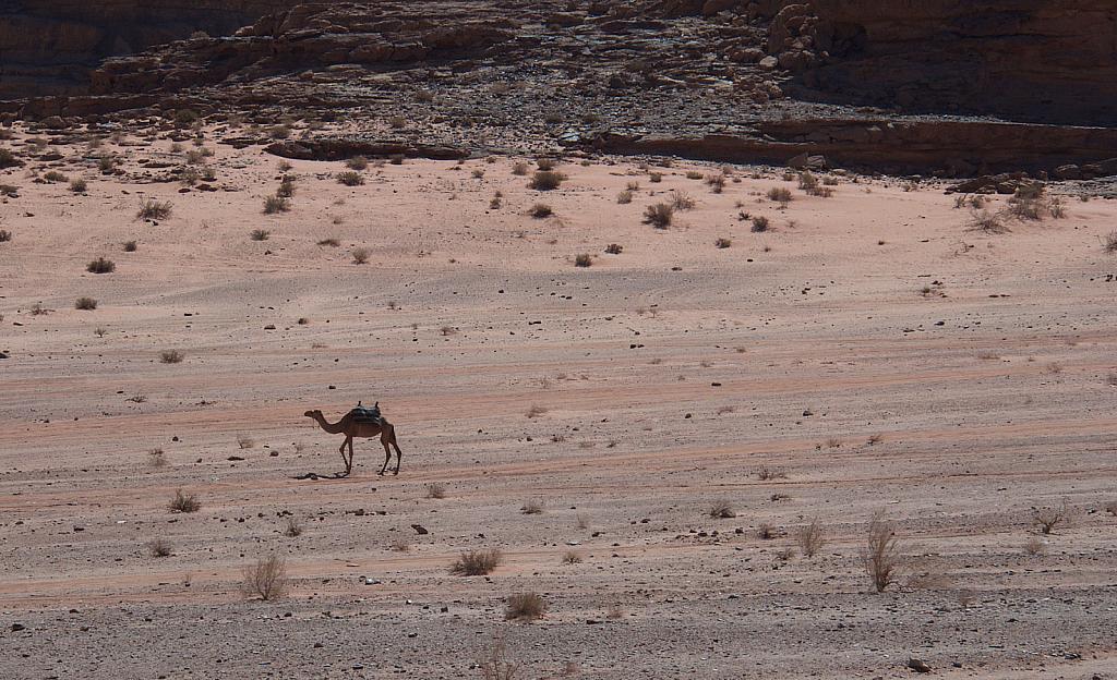Lonely Camel at Wadi Rum  Social distansing