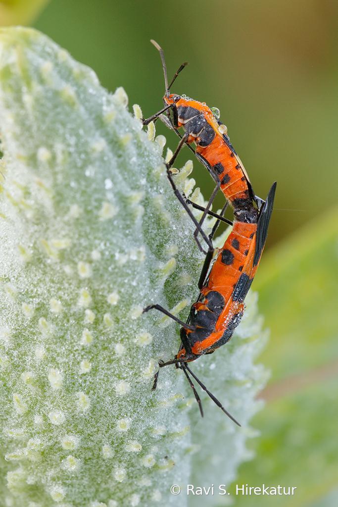 Mating Milkweed beetles