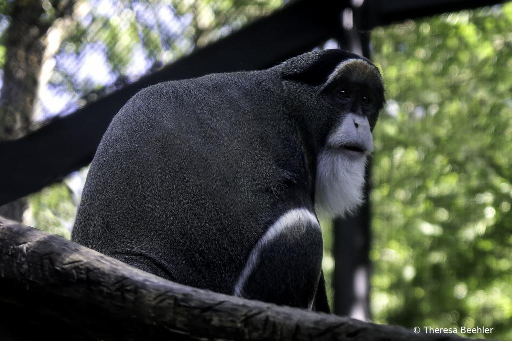 Animals - De Brazza's Monkey