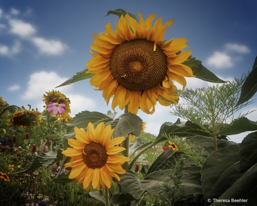 Flowers - English Garden with Sunflowers