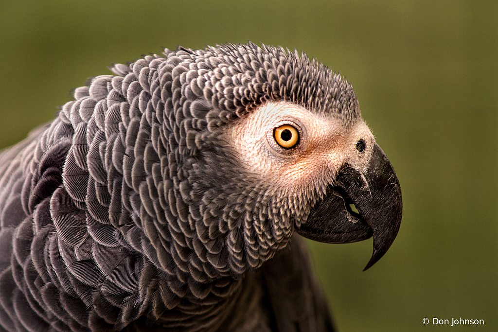 Profile African Grey Parrot 9-22-19 018