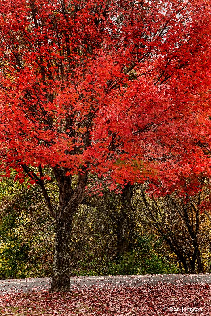 Autumn Red 10-29-19 179