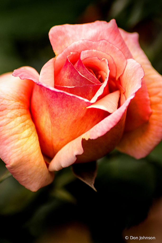 A Single Rose 10-12-19 267