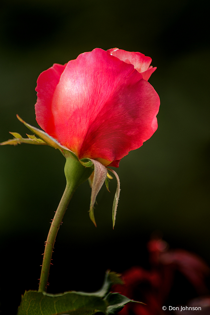 Another Stunning Rose Bud 10-12-19 328