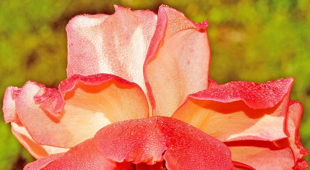 Dewdrops decorating the rose petals.
