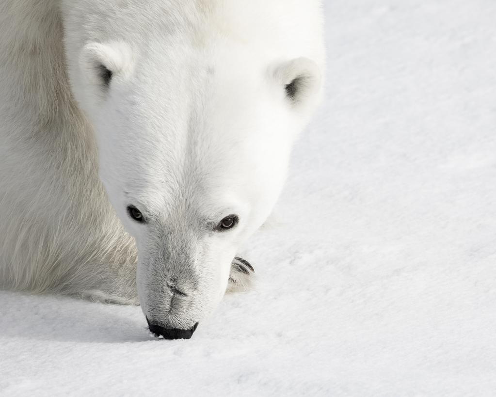 artic polar bear portrait