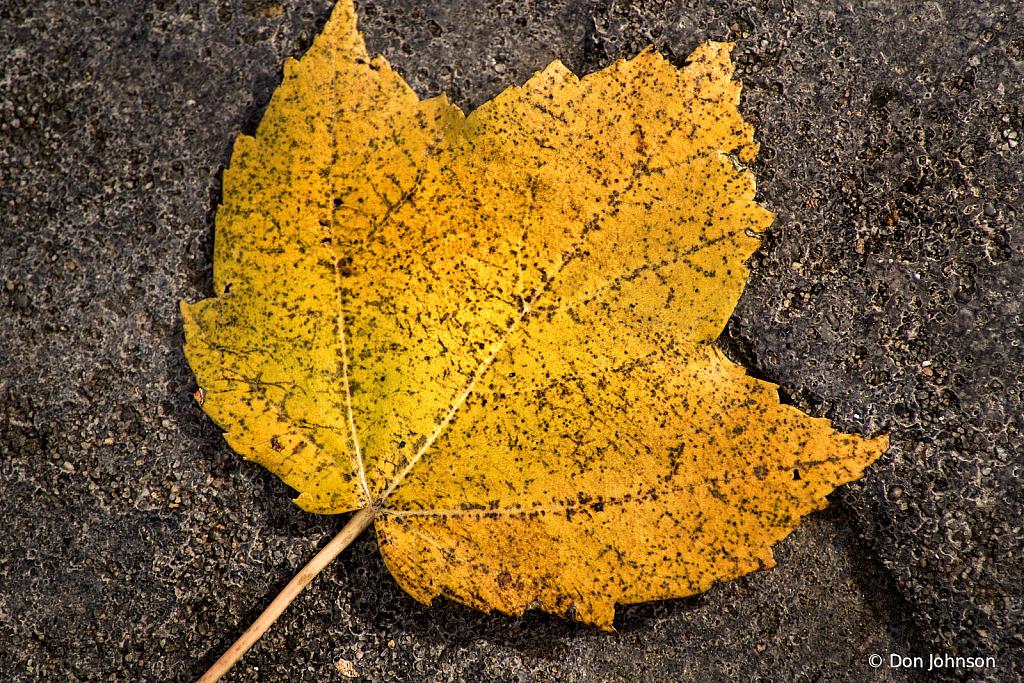 Fallen Leaf Texture 11-10-19 063