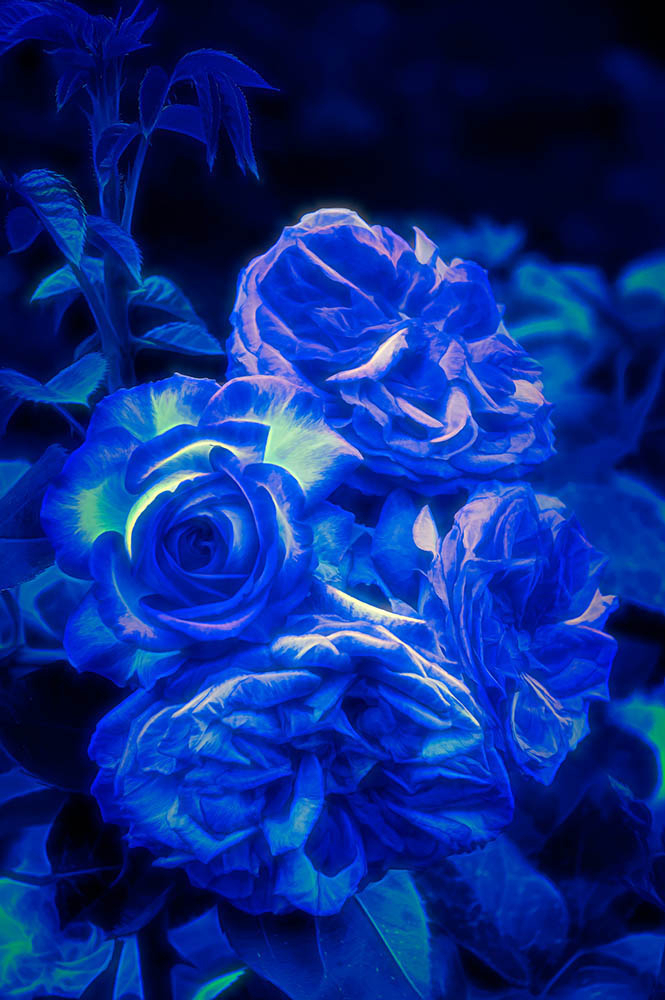 Blue Roses By Night