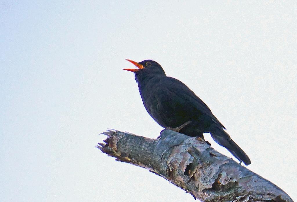 Blackbird singing.