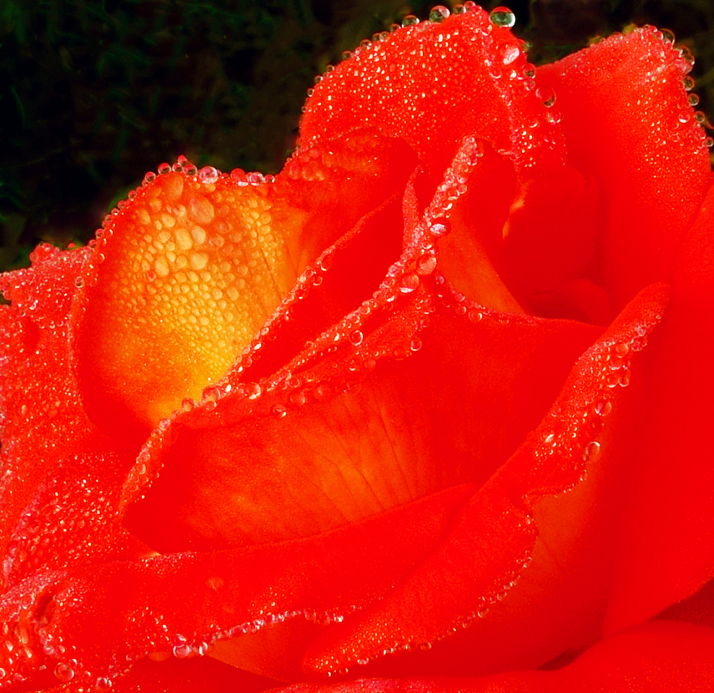 Dewdrops on the bloody rose flower.