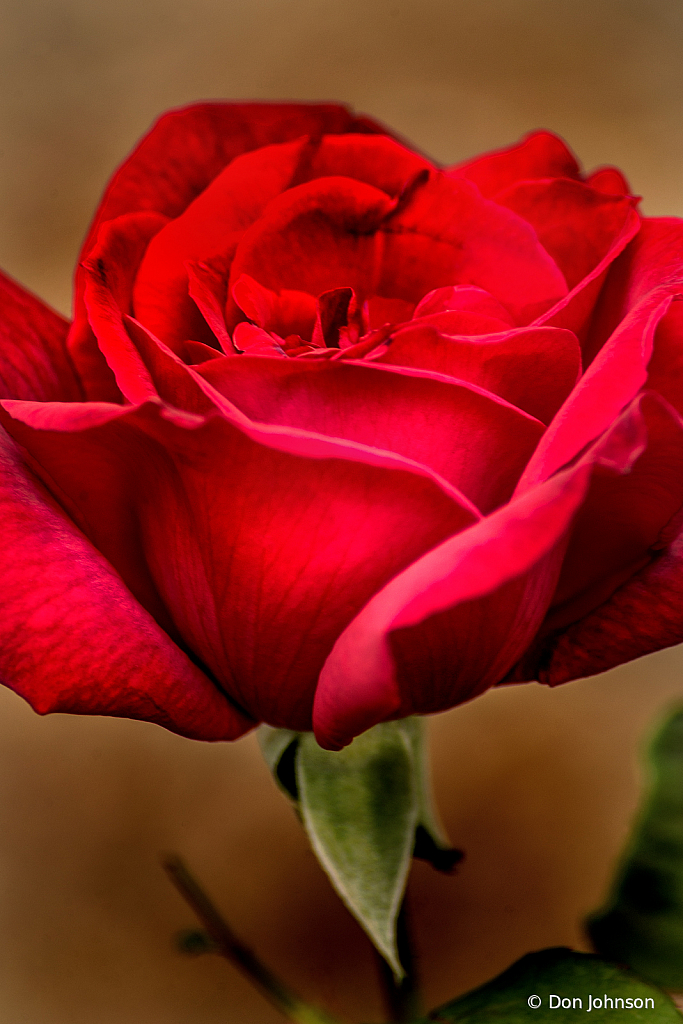 A Very Red Rose 10-12-19 385